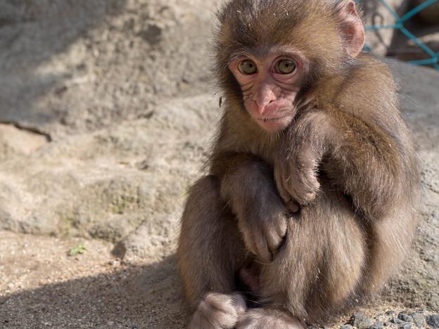 高崎山 まだまだ赤ちゃんお猿