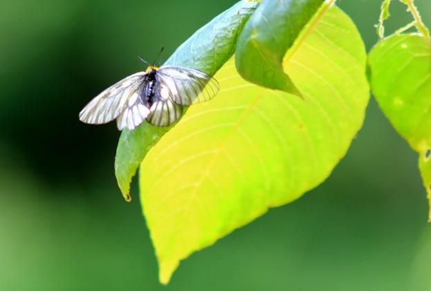 Photos: 見慣れない蝶