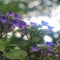 Photos: 紫陽花の詩
