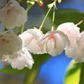 Photos: 白妙桜