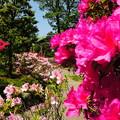 Photos: つつじの庭で