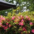 Photos: 皐月の咲くころに