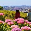 Photos: 紫陽花の路を~