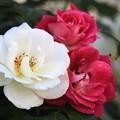 Photos: 赤い花白い花~♪