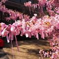 河津桜とリボン