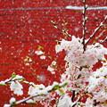 雪見桜20200329-1