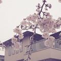 雪見桜20200329-2
