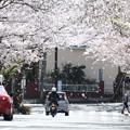 写真: 桜が散る