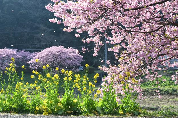 写真: みなみの桜