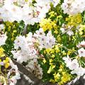 Photos: 春のコラボ