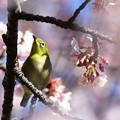 Photos: 春浅き