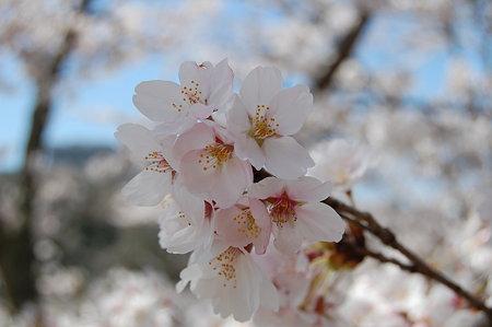 桜2009@恵那峡2