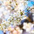 写真: 桜 02