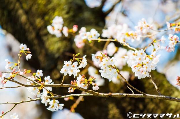 Photos: 桜 03