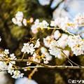 写真: 桜 03