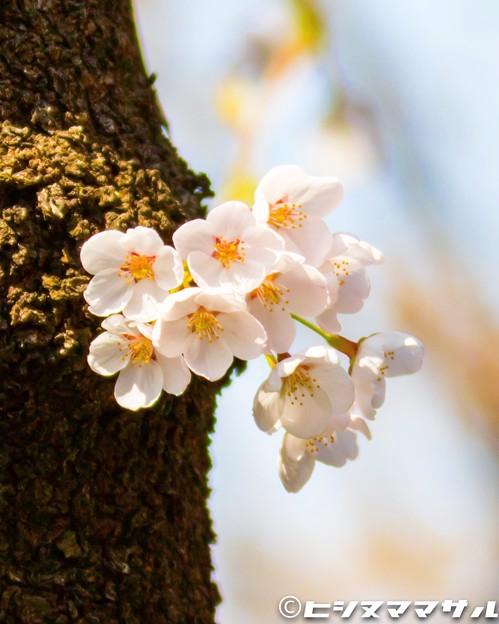 写真: 桜 05