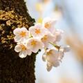 Photos: 桜 05