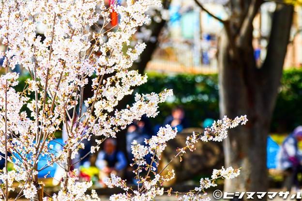 Photos: 桜 06