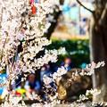 写真: 桜 06