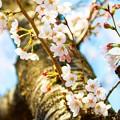 写真: 桜 07