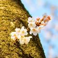 写真: 桜 08