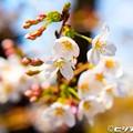 Photos: 桜 11
