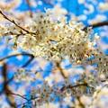 Photos: 桜 13