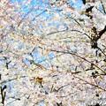 写真: 桜 14