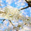 写真: 桜 15