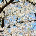写真: 桜 16