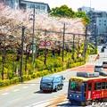 写真: 桜 20