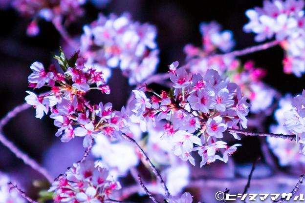 Photos: 夜桜 01
