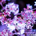 写真: 夜桜 01