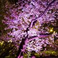 写真: 夜桜 03