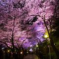 写真: 夜桜 05