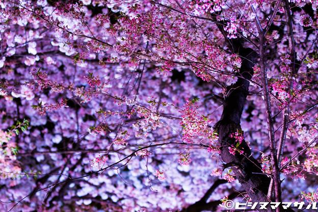 写真: 夜桜 08