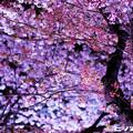 Photos: 夜桜 08