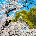 写真: 桜 22