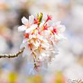 写真: 桜 24