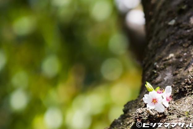 Photos: 桜 25