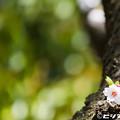 写真: 桜 25