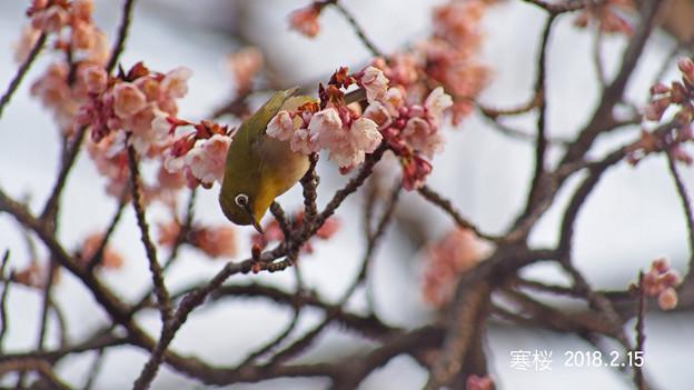 写真: メジロ215_400mejiro
