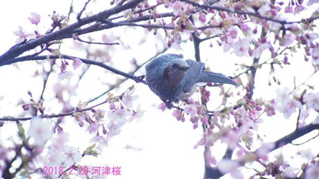 写真: 河津桜とヒヨドリ1626c