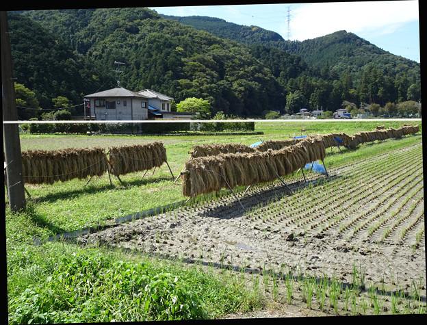 稲を干す 傾き補正 258197915b_org