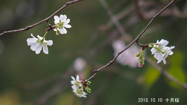 十月桜334jyuugatu