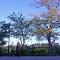 写真: アキニレの黄葉0871ike