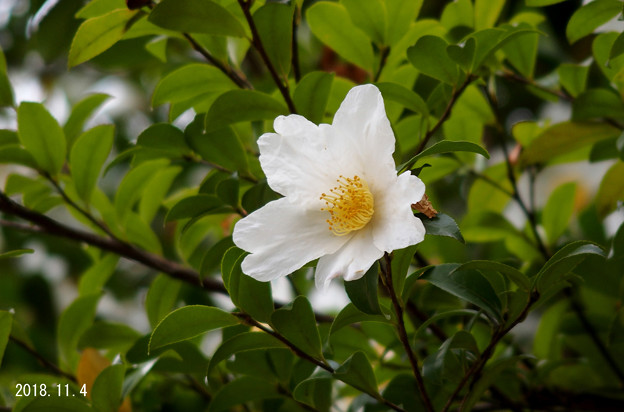 山茶花992sazanka