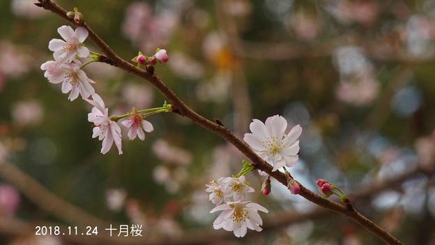 十月桜912jyuugatu