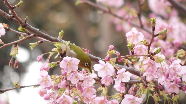 河津桜とメジロ615s