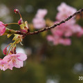 河津桜595kawadusakura